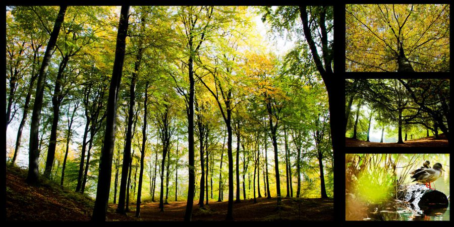 Forest, trees, Moesgaard, trees, leafs, duck, ducks, colours,